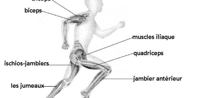 Les muscles sollicit s par le tapis de course - Comment courir sur un tapis de course ...